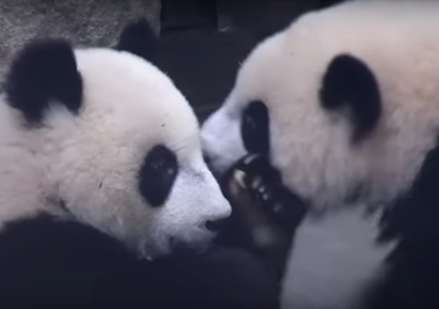 Hey panda bro, stop moving! Let me lie on your back!