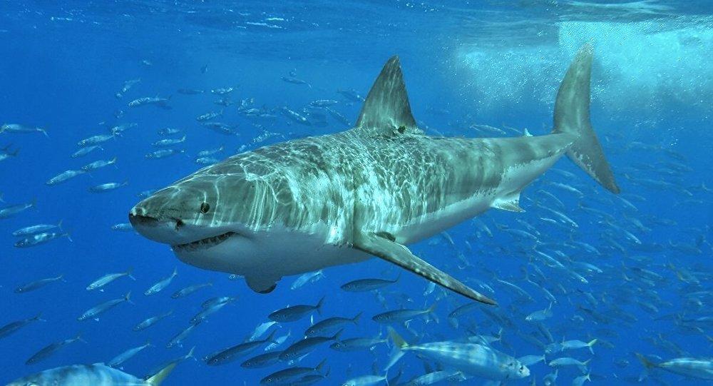 Le comportement d'un grand requin blanc au contact d'une plongeuse - vidéo