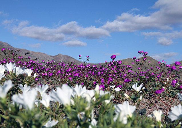 Le désert d'Atacama en 2017