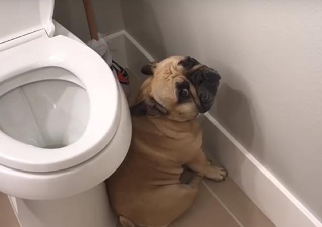 Ce bulldog s'en voudrait-il d'avoir fait une grosse bêtise ?