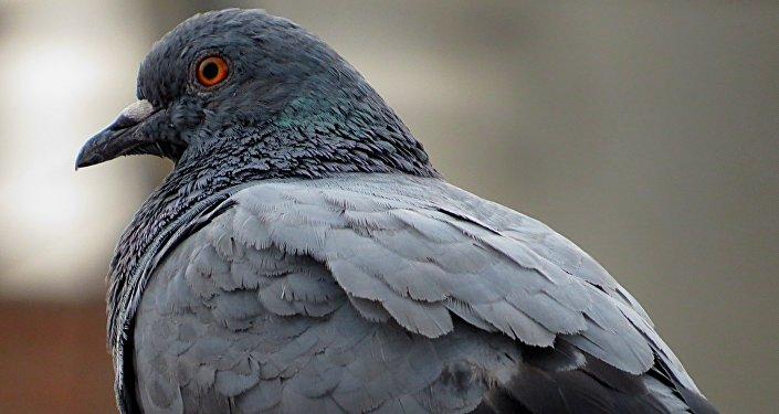 Les pigeons capables de distinguer des concepts abstraits