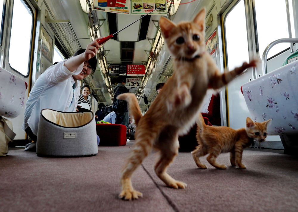 Un train à chats au Japon