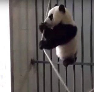 Ce petit panda géant ne sera finalement pas équilibriste!