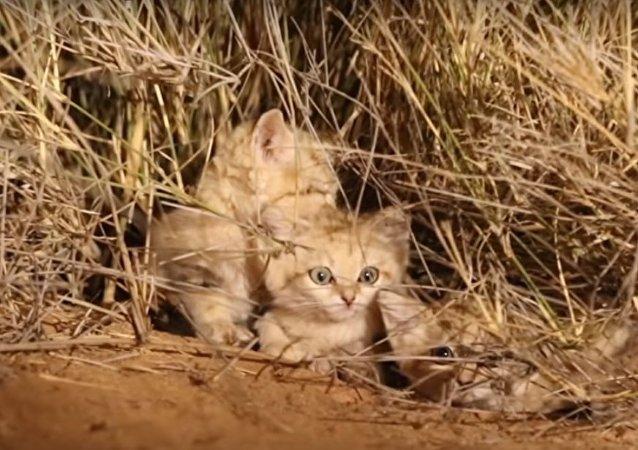 Des chatons des sables ont été filmés pour la première fois dans leur environnement naturel