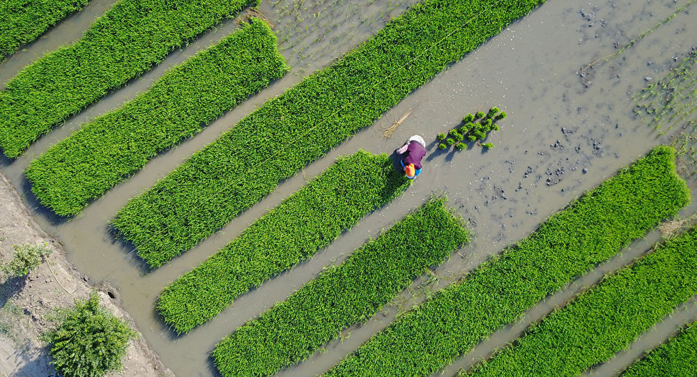 riz de mer, Chine