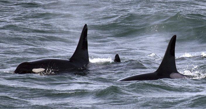 Des orques dans le Pacifique