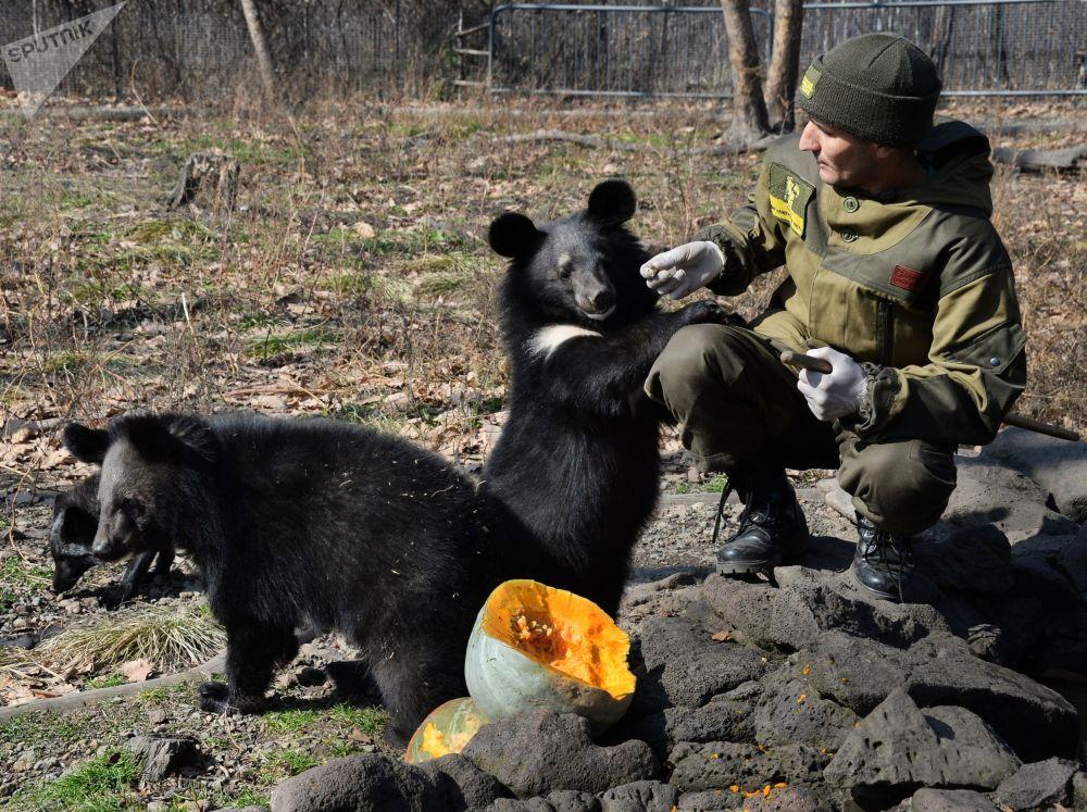 Des oursons de l'Himalaya dans un parc safari de l'Extrême-Orient russe