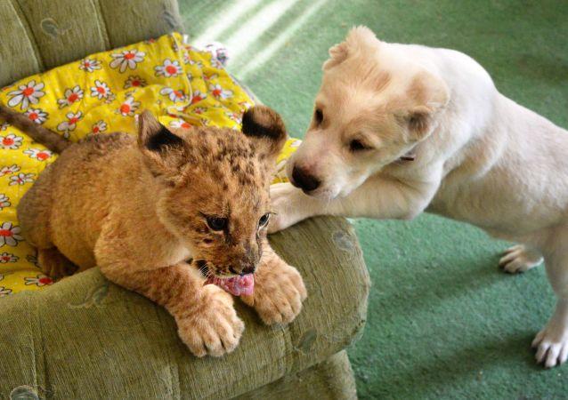 Un lionceau se lie d'amitié avec un chiot dans un zoo à Vladivostok