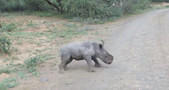 Un bébé rhinocéros contre des «monstres d'acier»