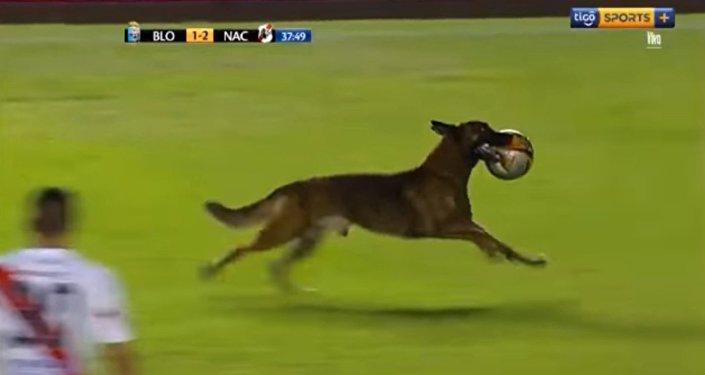 Un chien récupère le ballon lors d'un match de foot