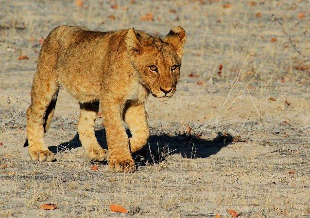 Un lionceau (image d'illustration)