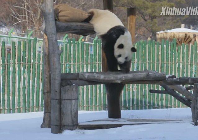 Les premières neiges rendent ces pandas fous de joie