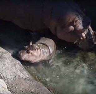 Les premiers pas de bébé hippopotame