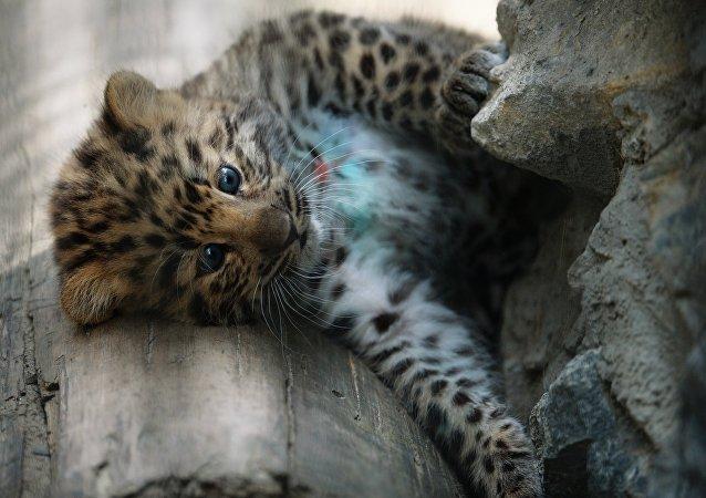 Un bébé léopard