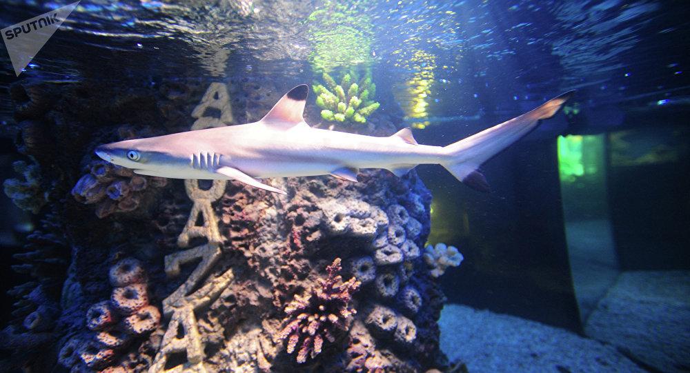 Un requin gris de récif