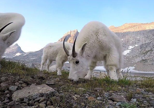 La visite matinale des chèvres