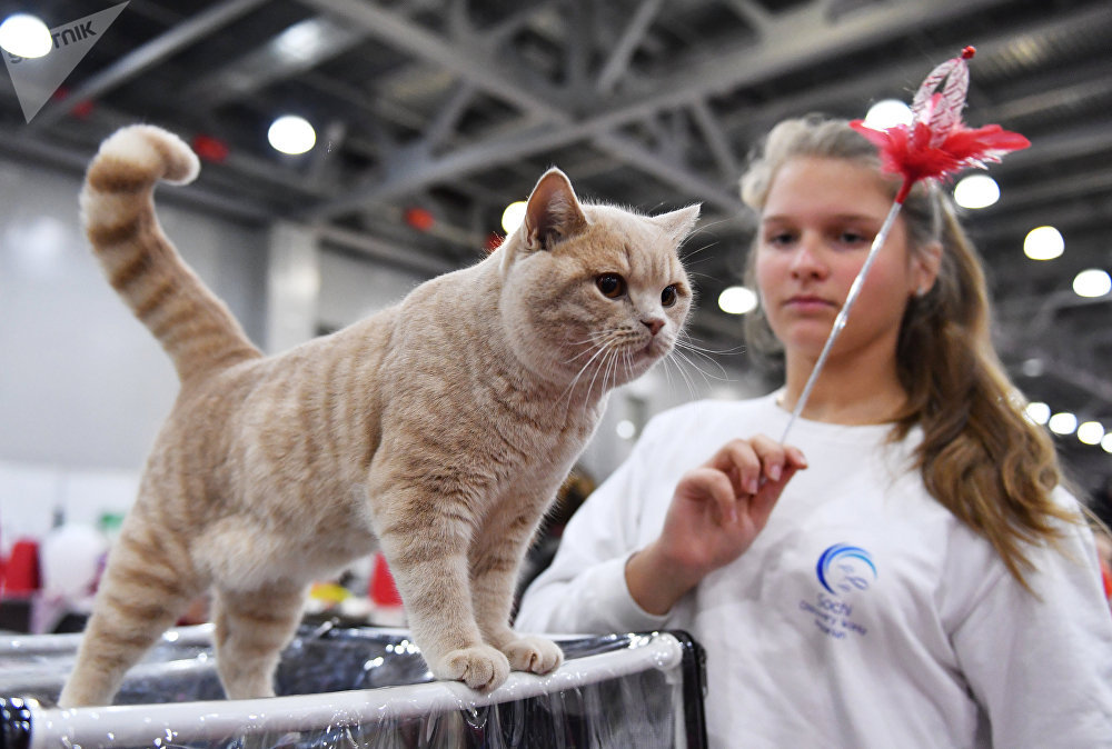 Sphynx, British shorthair et d'autres félins exposés au Grand Prix Royal Canin