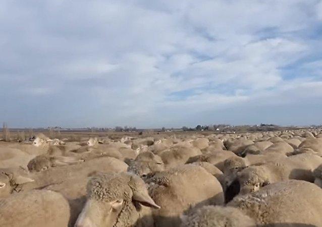 Mer de moutons