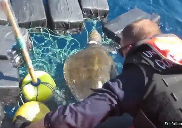 Une tortue de mer emmêlée dans des paquets de cocaïne sauvée par des marins