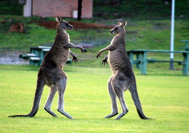 kangourous se battent