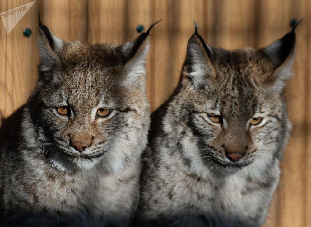 Bienvenus aux lions, pumas et lynx, les nouveaux résidents du parc safari du Primorié!