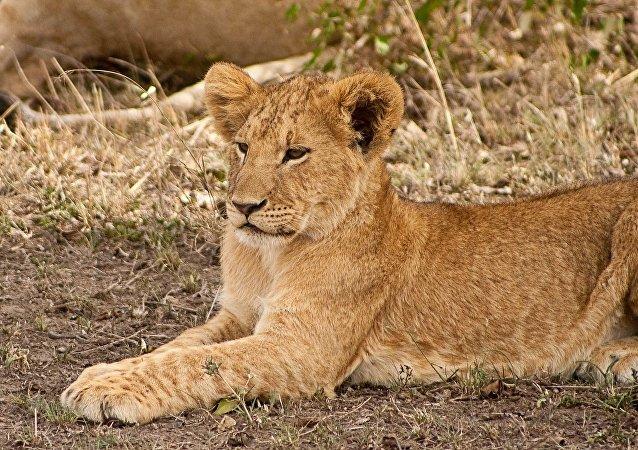 Un lionceau