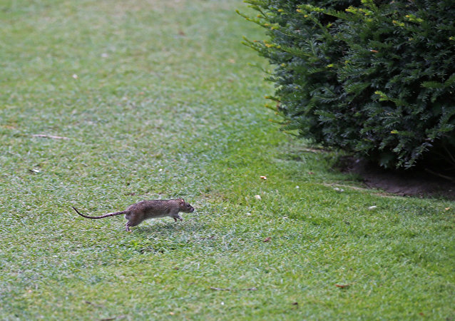 A rat runs in The Tuileries gardens of the Louvre Museum in Paris, France, Tuesday, July 29, 2014