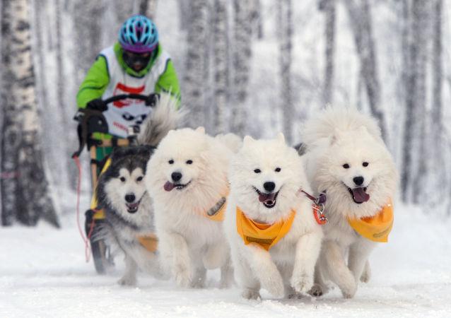 En coup de vent! Courses de chiens de traîneaux à Novossibirsk