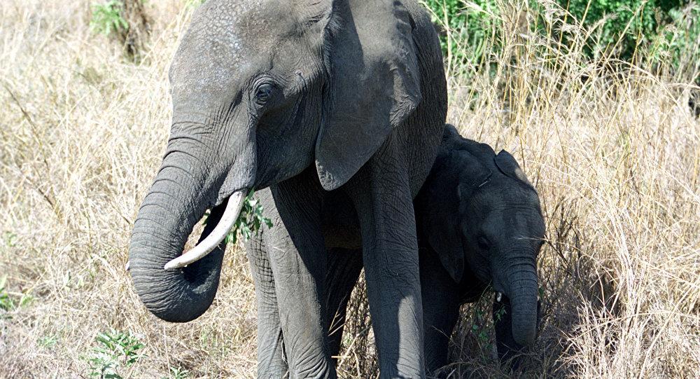 Une centaine d'éléphants tués en quelques semaines au Botswana