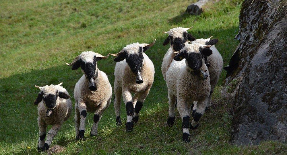 troupeau de brebis