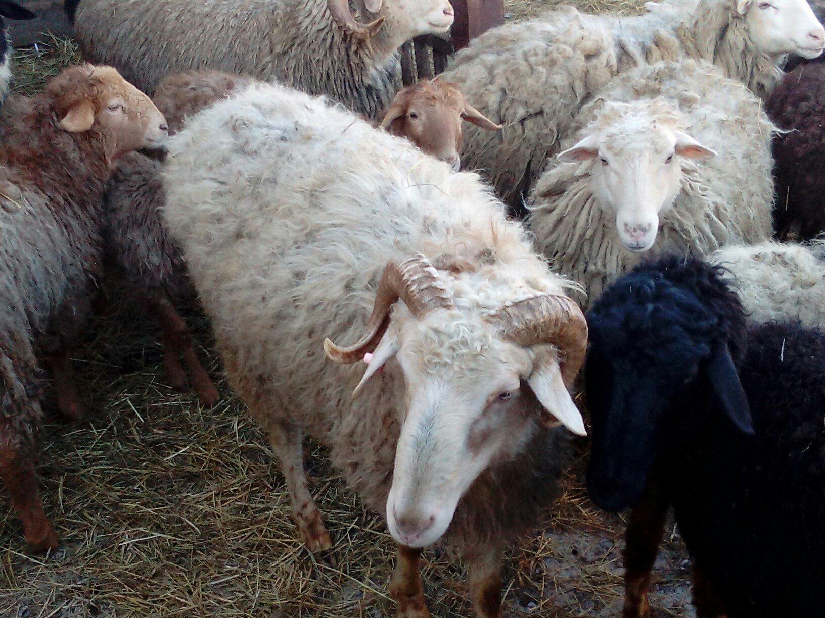 Le troupeau de Nariman Koupriakov