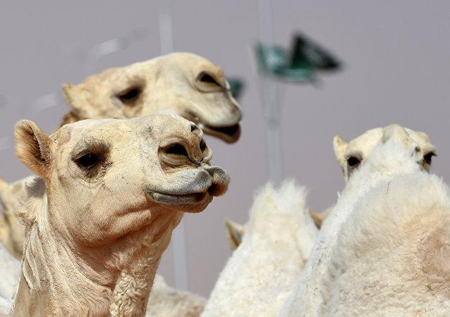 Concours du plus beau chameau à Riyad