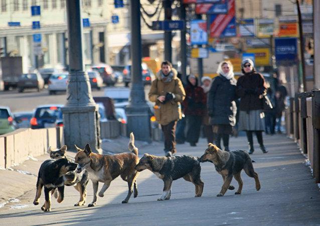 Chiens errants à Moscou