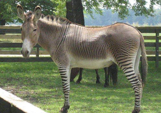 Un zonkey, croisement de zèbre et d'âne