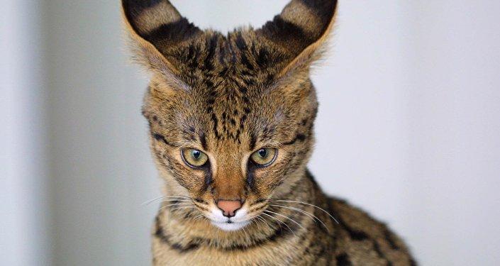 Un Savannah, hybride du serval et du chat domestique