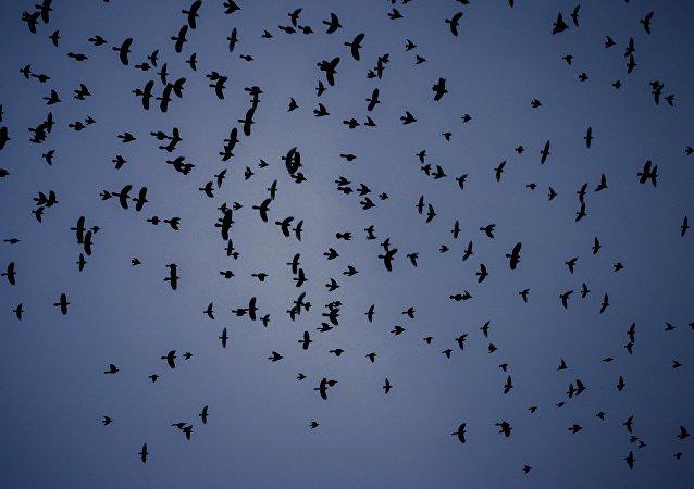 des nuées d'oiseaux sorties d'un film d'Hitchcock au-dessus du Texas