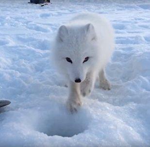 Le renard polaire de retour! Avec un ami!