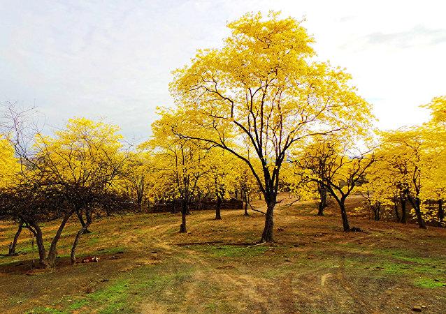 Floraison des arbres gaïac en Équateur