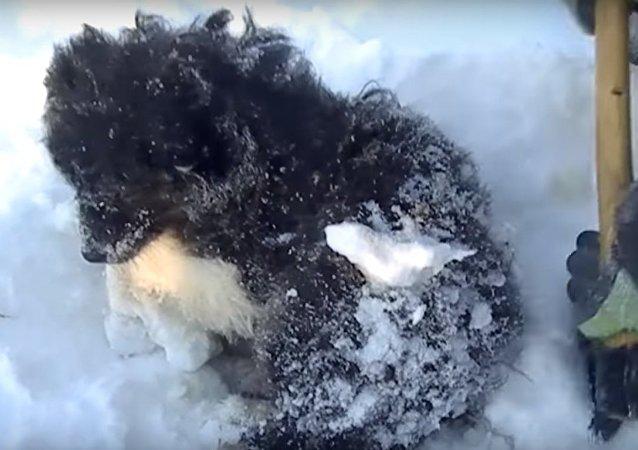 Des habitants de Yamal ont sauvé un chiot gelé