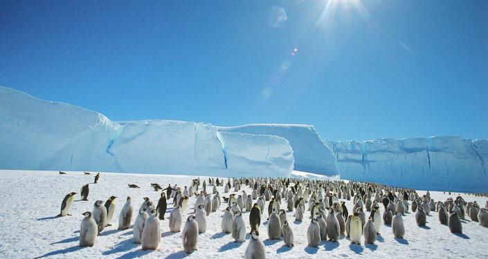 Des manchots empereurs près de la base russe de Mirny en Antarctique
