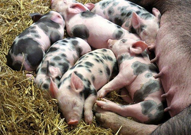 Les petits porcins