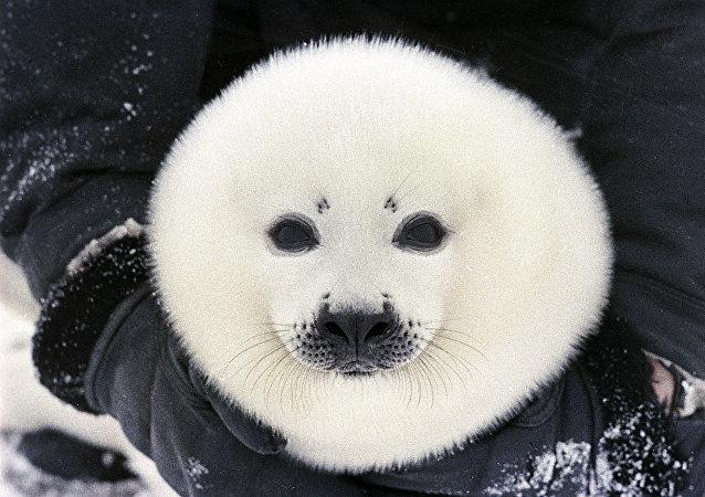 Le bébé-phoque est le nouveau-né du phoque du Groenland ou du phoque de la Caspienne, couvert entièrement de fourrure blanche.