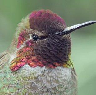 Anna's Hummingbird//VitalHog