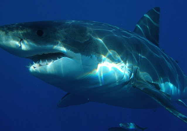 Grand requin blanc (image d'illustration)