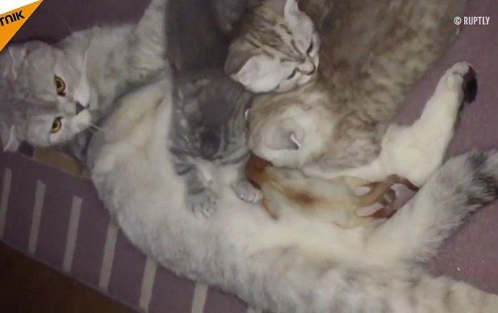 l amour d une m re ne connait pas de limite un chat adopte un b b cureuil sputnik france. Black Bedroom Furniture Sets. Home Design Ideas