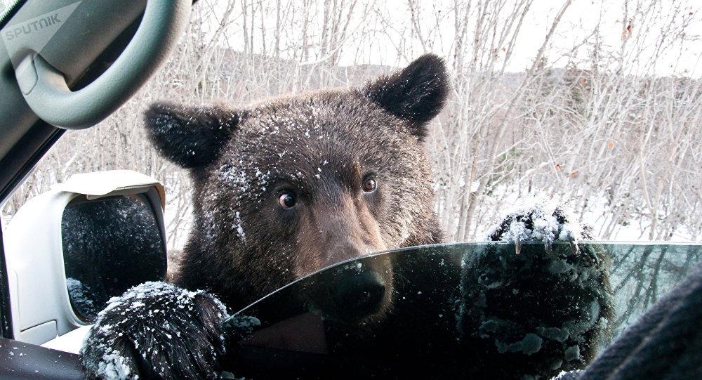 Un ours et une voiture (image d'illustration)