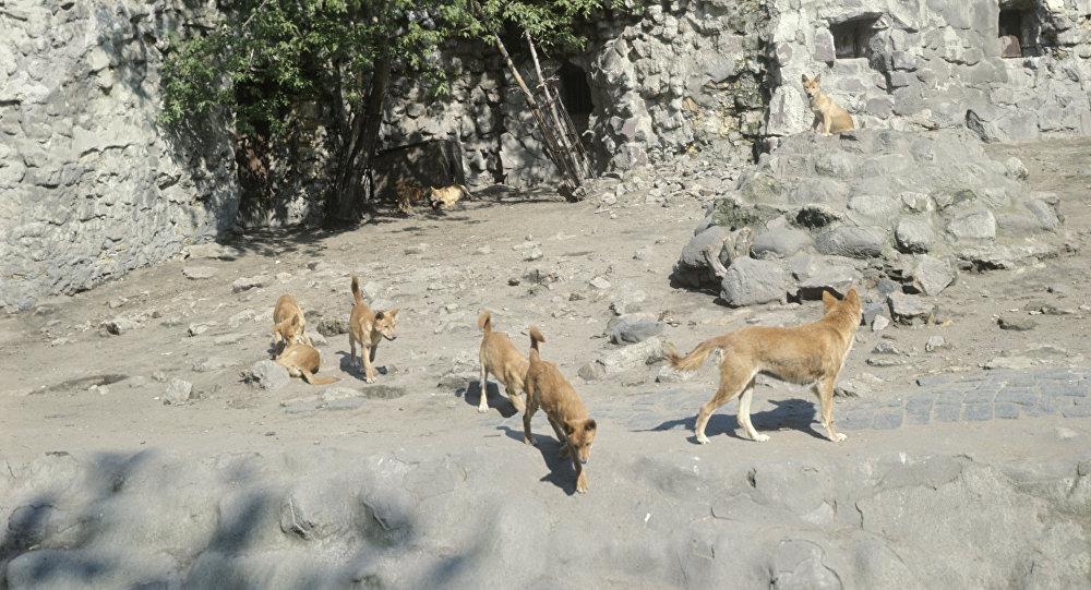 Des dingos