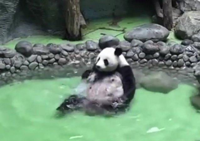 Un Panda se détend en se baignant dans une piscine
