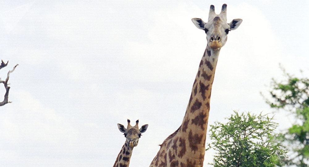 Afrique du Sud : un cinéaste meurt attaqué par une girafe