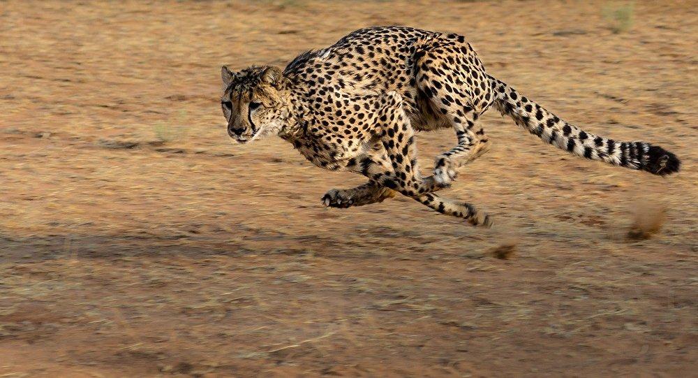 Une famille imprudente attaquée par des guépards dans un parc safari